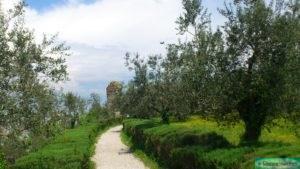 Rosmarin in Italien