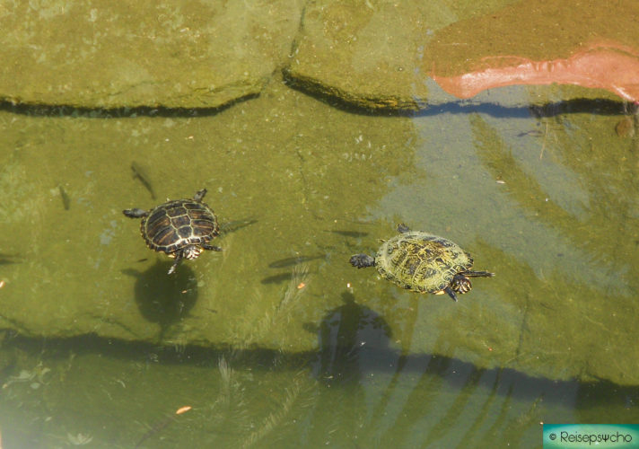 Schildkröten im Wasser im Zoo in Rom