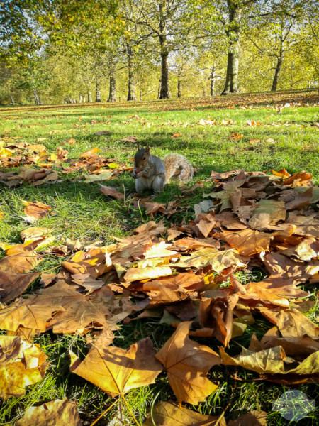Zutrauliche Eichhörnchen in London