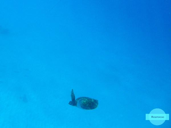 Schildkröten in der Carlisle Bay auf Barbados