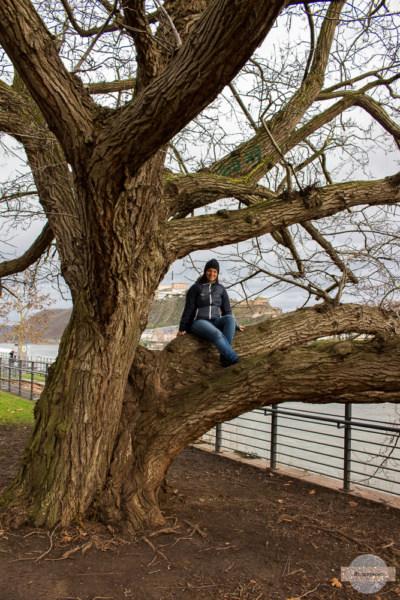 Auf einem Baum sitzen in Koblenz