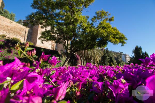 Violette Blumen in Malaga