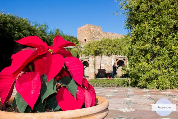 Ein Weihnachtsstern im Topf im Garten der Alcazaba