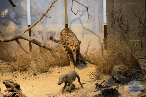 Gepard jagt ein Warzenschwein - Szene mit ausgestopften Tieren im Museum König in Bonn