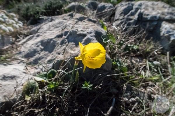 Blume im Winter an der Algarve