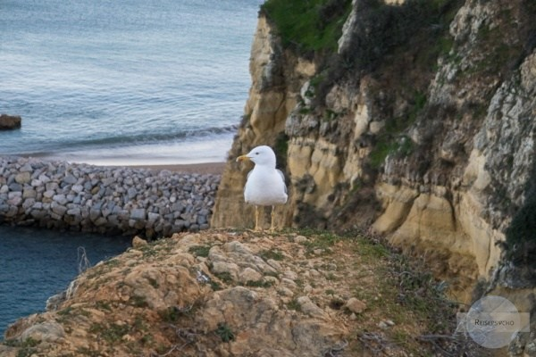 Möwe an der Küste der Algarve