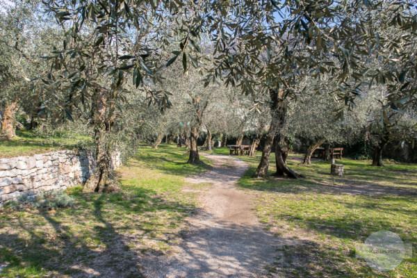 Olivenpark mit vielen Olivenbäumen in Torbole am Gardasee