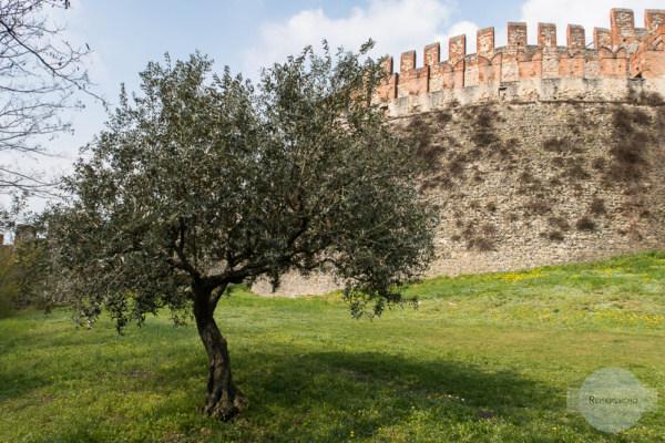 Castello in Soave hinter einem Olivenbaum