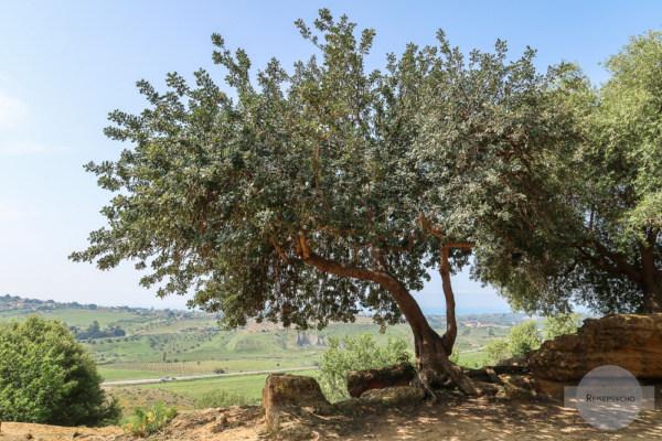 Olivenbaum im Tal der Tempel in Agrigent