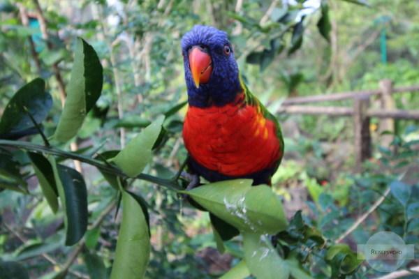 Papagei auf Guadeloupe