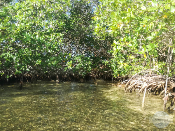 Mangrovenwald auf Guadeloupe