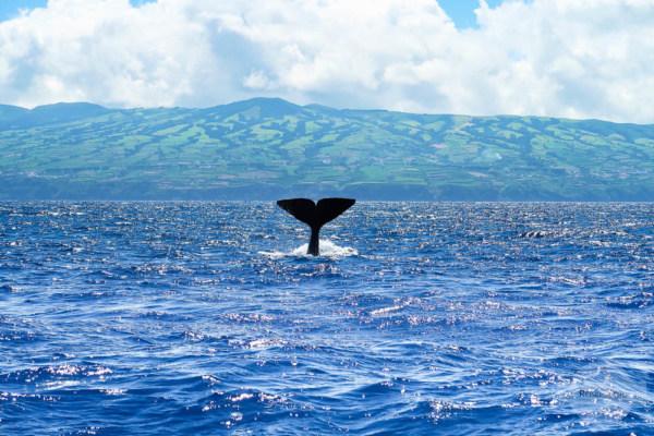 Wal auf den Azoren