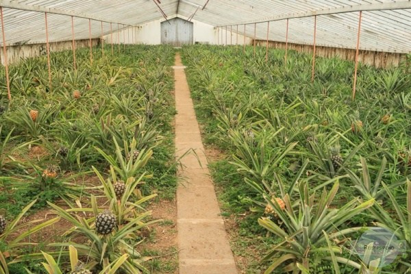 Ananas auf den Azoren - Reisetipps für Kulinarik