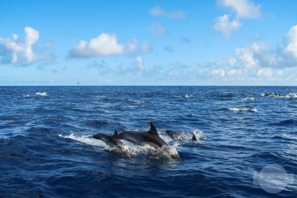 Delfine auf den Azoren