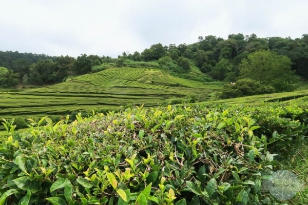 Teeplantage Cha Gorreana auf den Azoren