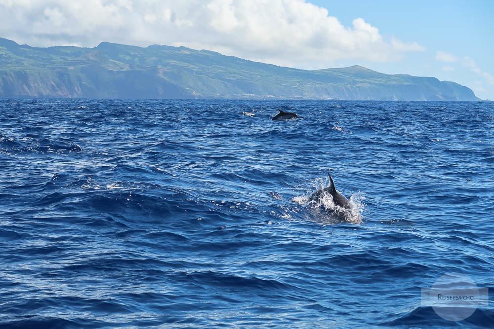 Auch Delfine sieht man beim Whale Watching auf den Azoren