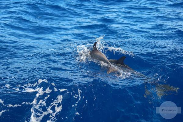 Delfinmama mit Kind im Atlantik vor den Azoren