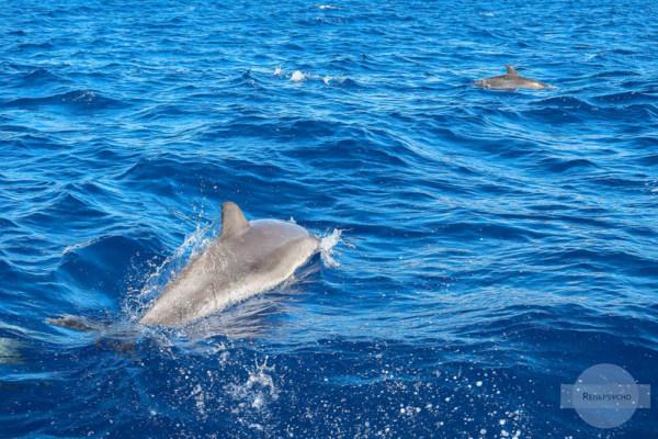 Wale und Delfine beobachten - Atlantischer Fleckendelfin