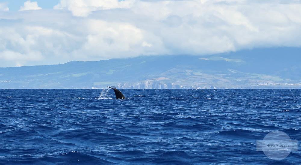 Whale Watching Azoren - ein Pottwal taucht gerade ab
