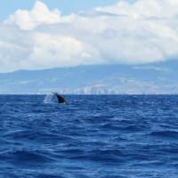 Whale Watching Azoren - Wale beobachten und Delfinschwimmen