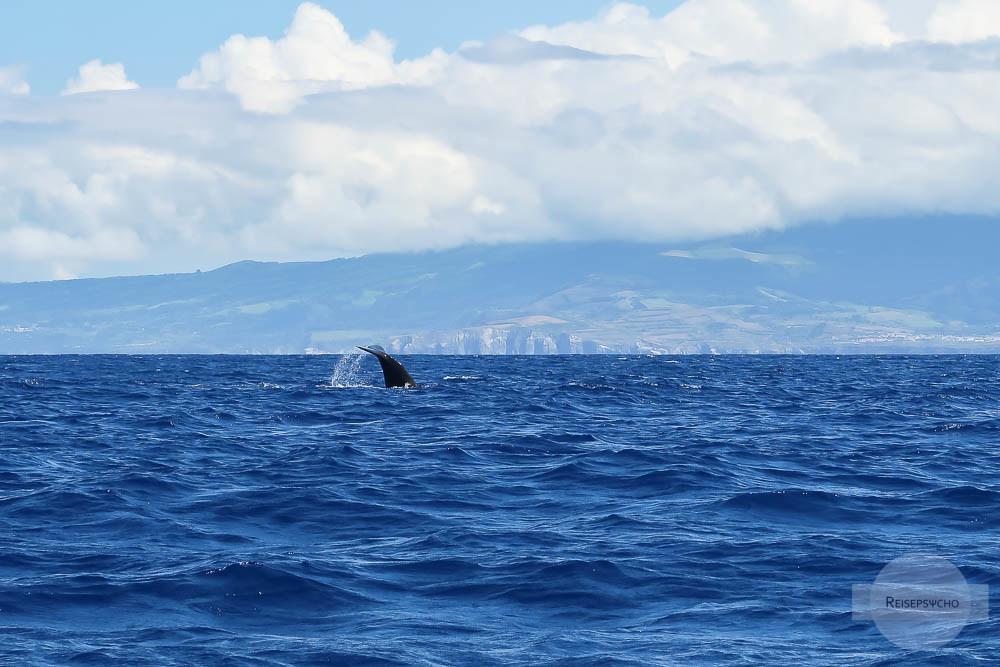 Whale Watching Azoren – Wale beobachten und Delfinschwimmen
