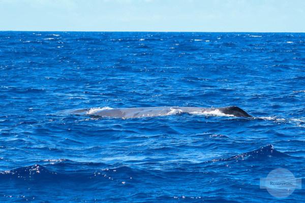 Walbeobachtung Azoren Pottwal
