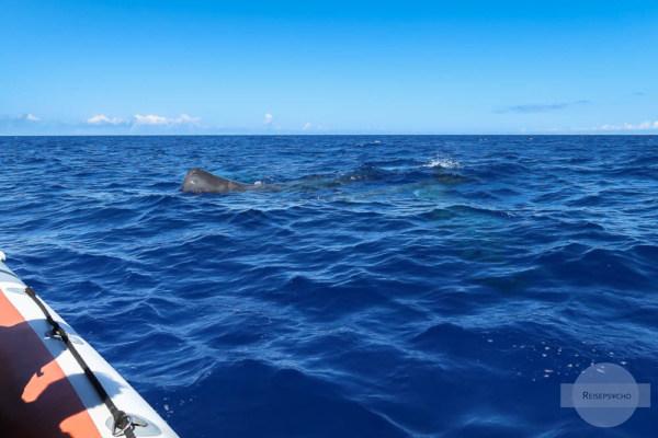 Wal neben Boot beim Whale Watching Azoren