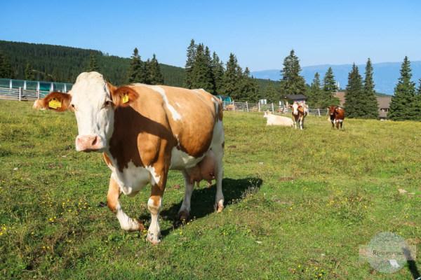 Verhalten wenn Kuh nahe kommt