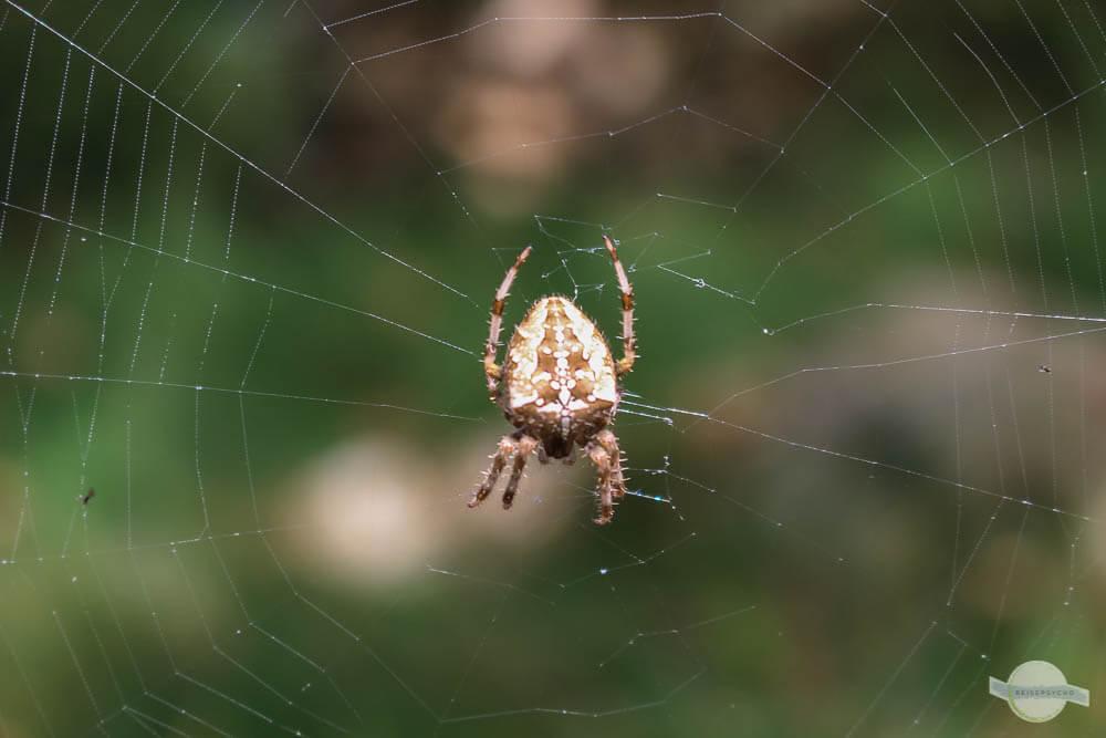 Spinne auf Kreta