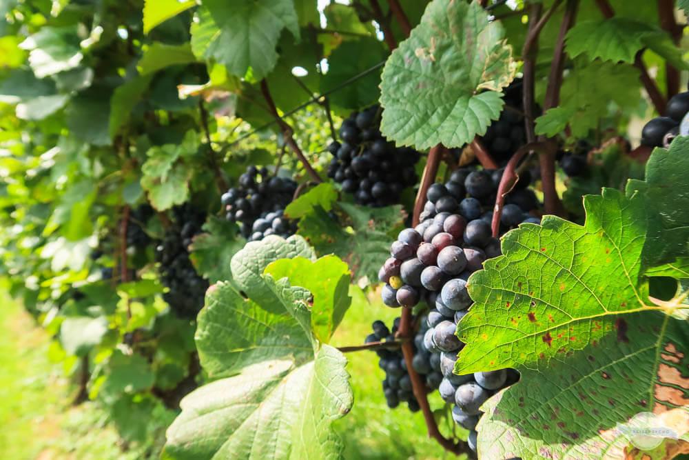 Reife blaue Weintrauben am Stock