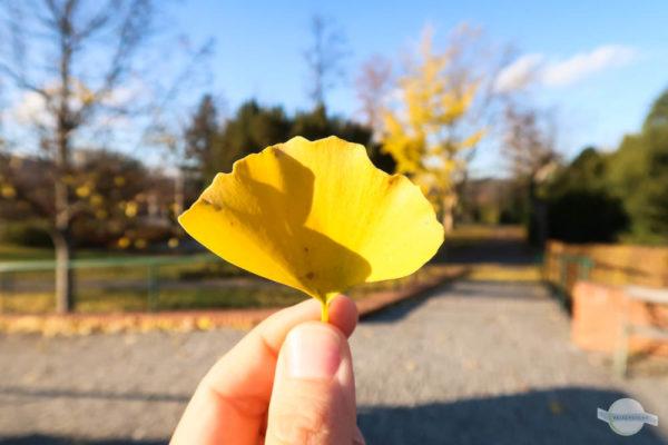 Ginkoblatt im Herbst verfärbt