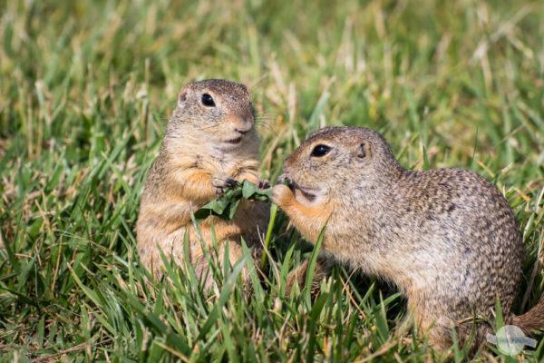 Ziesel streiten um Essen