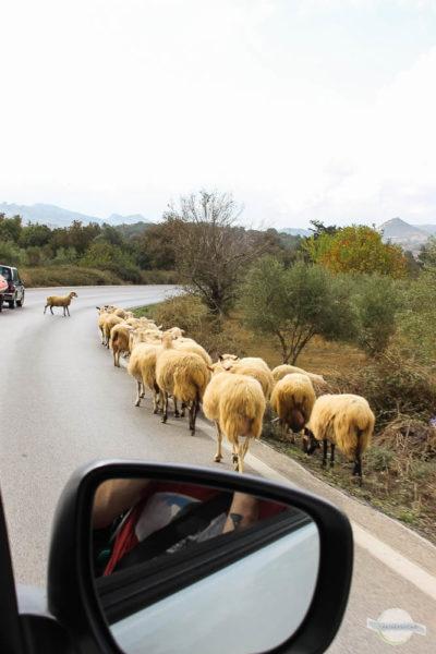 Schafe auf Straße am Psiloritis