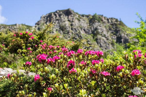 Alpenblumen und Berge