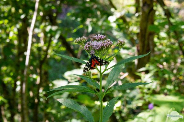 Schmetterlinge in der Spitzenbachklamm