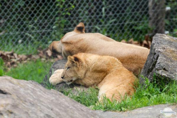 Löwenmama und Junges in der Tierwelt Herberstein