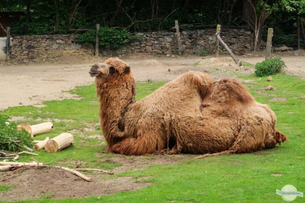 Kamel mit Fell in Herberstein