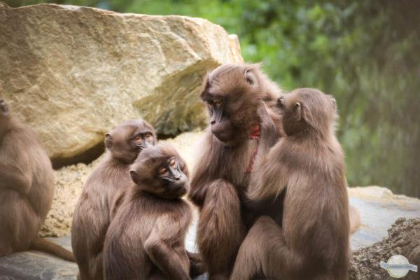 Affenmutter mit Jungen in Herberstein