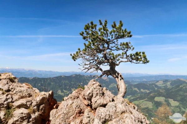 Baum auf Felsen am Hochlantsch