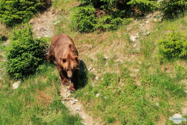 Braunbären in Mautern