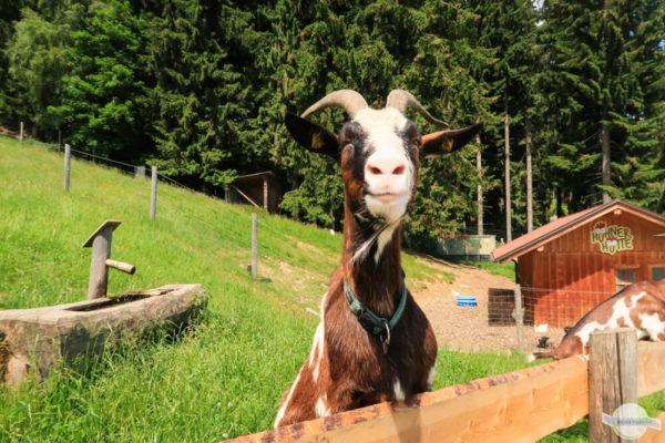 Ziege lacht - Tiere in der Steiermark