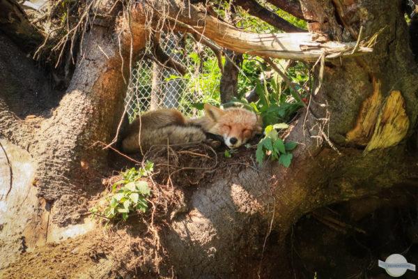 Fuchs schlafend im Baum