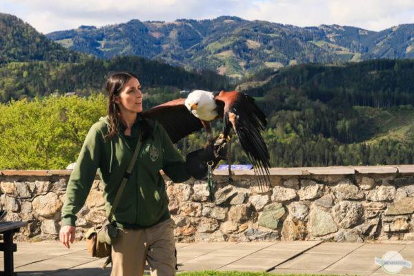 Greifvogelschau mit Adler