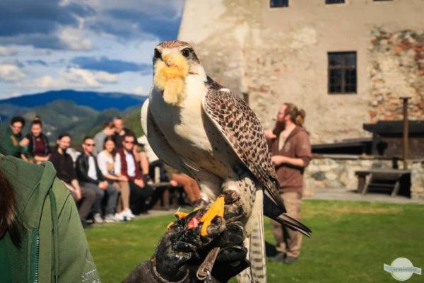 Falke beim Essen