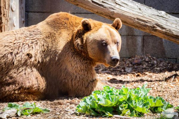 Braunbären in der Südsteiermark