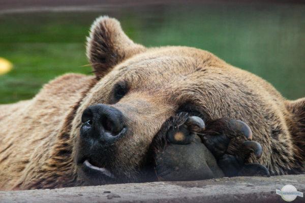 Entspannter, schlafender Braunbär