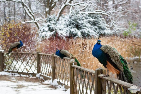 Pfaue im Winter in Graz