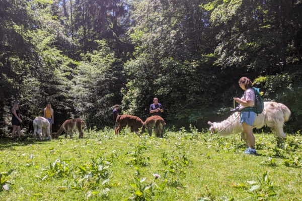 Alpakawanderung in Mitterdorf bei Weiz
