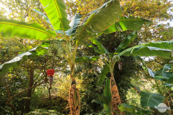 Bananenbäume auf Kreta