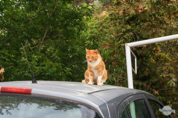 Katze auf Auto